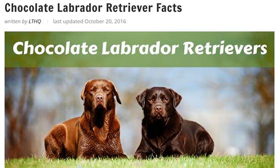 chó labrador có màu sô-cô-la