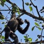 Sự đền đáp lại lâu dài trong việc vệ sinh lông của tinh tinh Tây Phi hoang dã